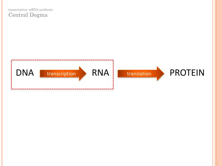 transcription: mRNA synthesis