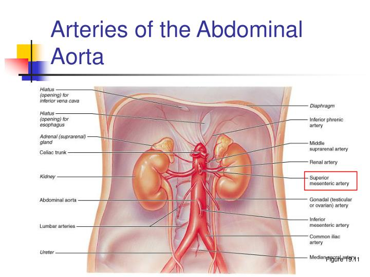 Arteries of the Abdominal Aorta