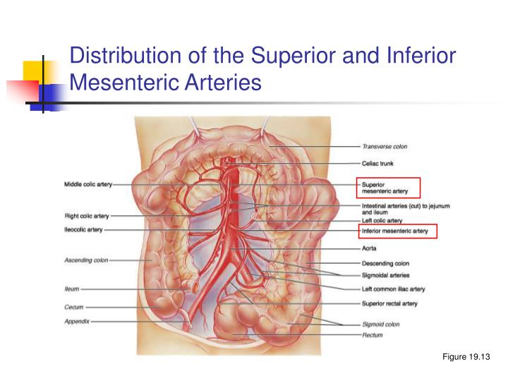 Distribution of the Superior and Inferior Mesenteric Arteries