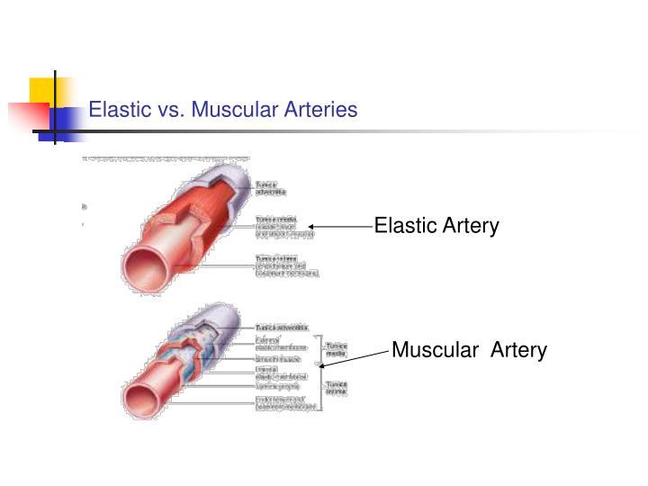 Elastic vs. Muscular Arteries