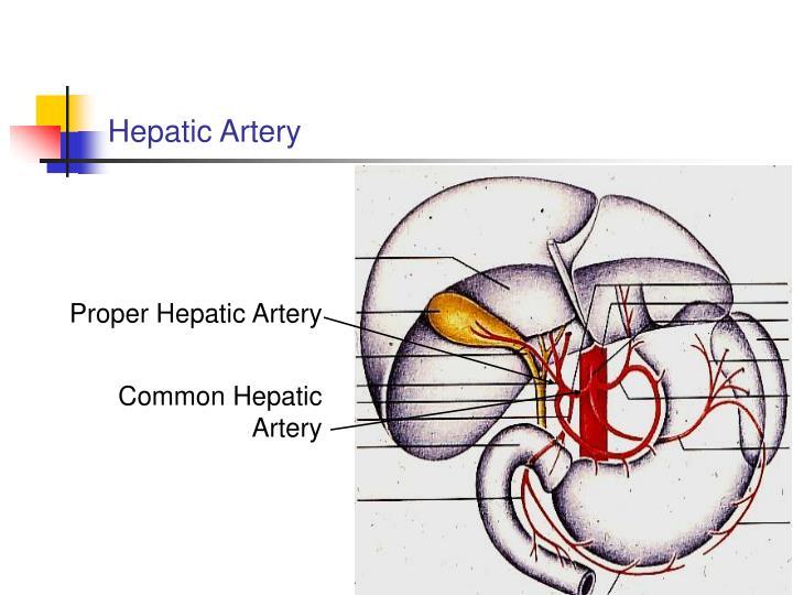 Hepatic Artery