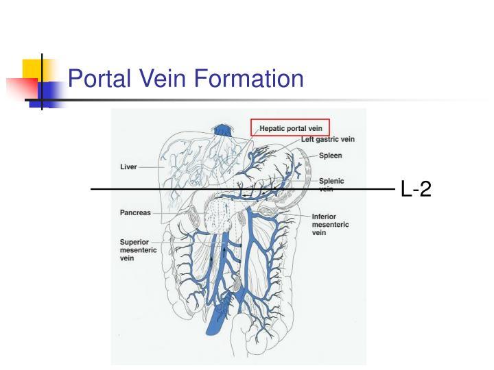Portal Vein Formation