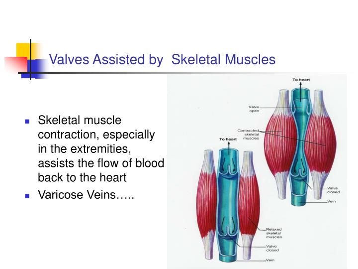 Valves Assisted by  Skeletal Muscles