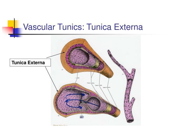 Vascular Tunics: Tunica Externa