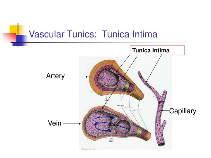 Vascular Tunics:  Tunica Intima
