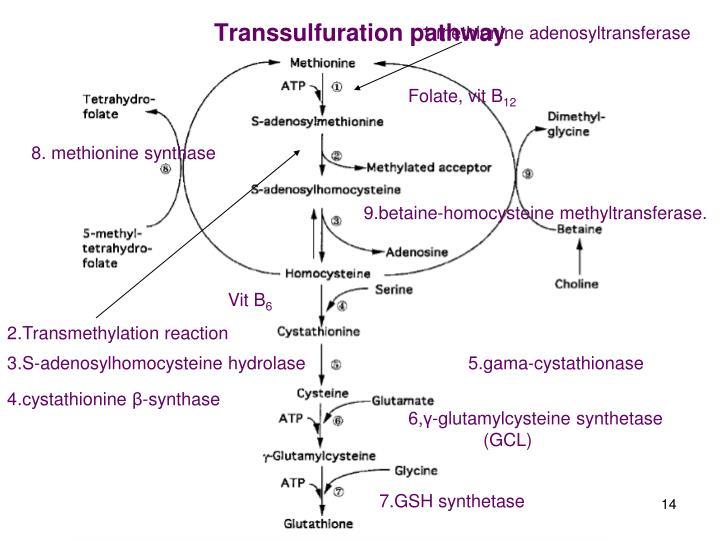 1.methionine adenosyltransferase