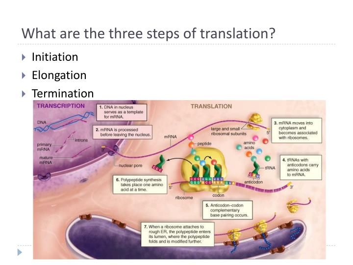 What are the three steps of translation?