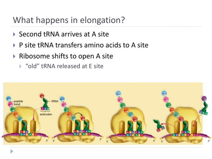 What happens in elongation?