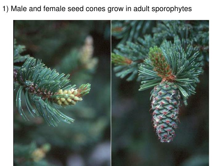 1) Male and female seed cones grow in adult sporophytes