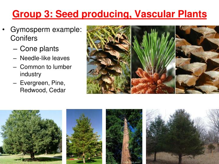 Gymosperm example: Conifers