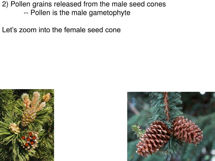 2) Pollen grains released from the male seed cones