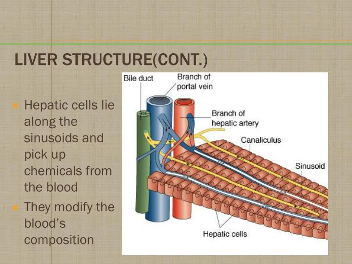 Hepatic cells lie along the sinusoids and pick up chemicals from the blood