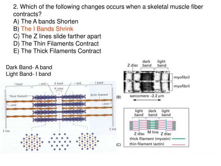 2. Which of the following changes occurs when a skeletal muscle fiber contracts?