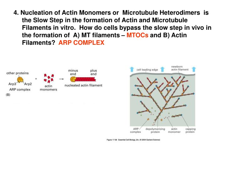 4. Nucleation of Actin Monomers or  Microtubule Heterodimers  is the Slow Step in the formation of Actin and Microtubule Filaments in vitro.  How do cells bypass the slow step in vivo in the formation of  A) MT filaments –