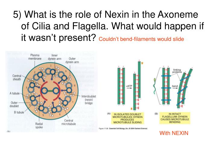 5) What is the role of Nexin in the Axoneme of Cilia and Flagella. What would happen if it wasn't present?