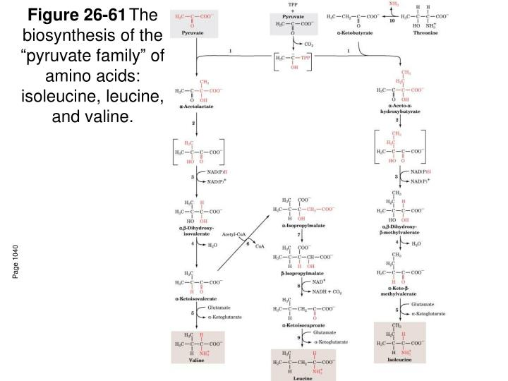 Figure 26 61 the biosynthesis of the pyruvate family of amino acids isoleucine leucine and valine