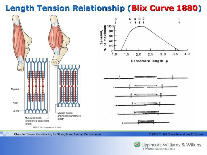 Length Tension Relationship (