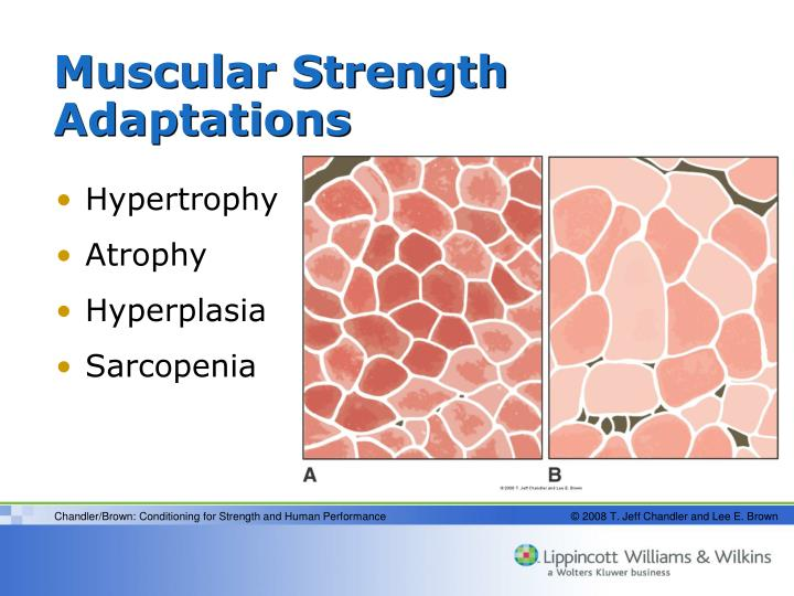 Muscular Strength Adaptations