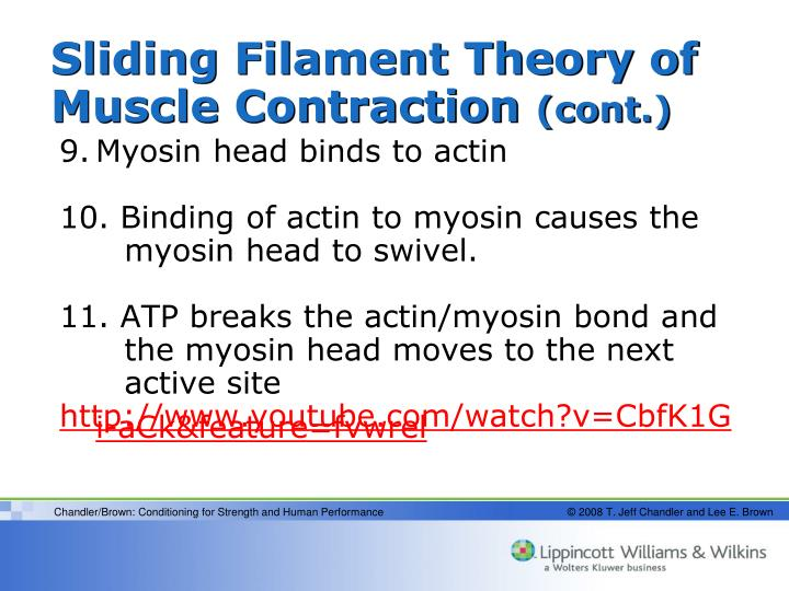 Sliding Filament Theory of Muscle Contraction