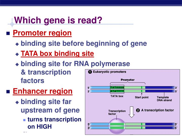 Which gene is read?