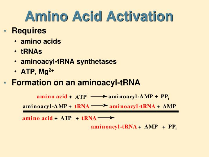 Amino Acid Activation