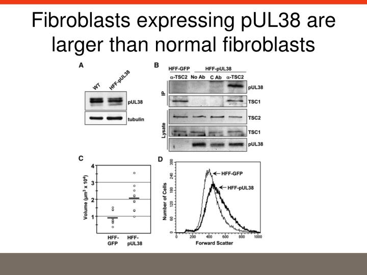 Fibroblasts expressing pUL38 are larger than normal fibroblasts