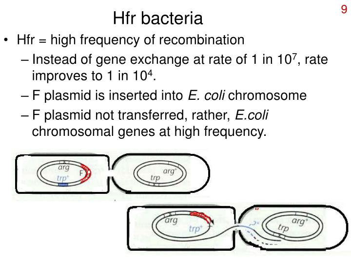 Hfr bacteria
