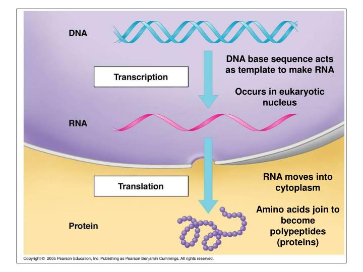 DNA base sequence acts as template to make RNA