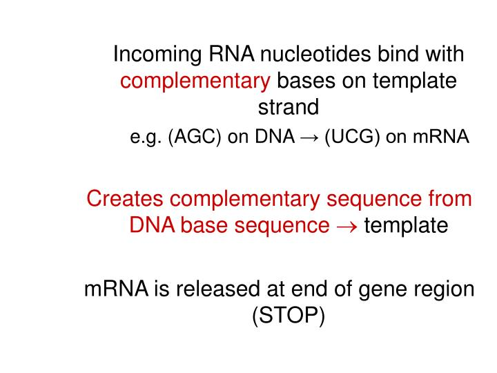 Incoming RNA nucleotides bind with