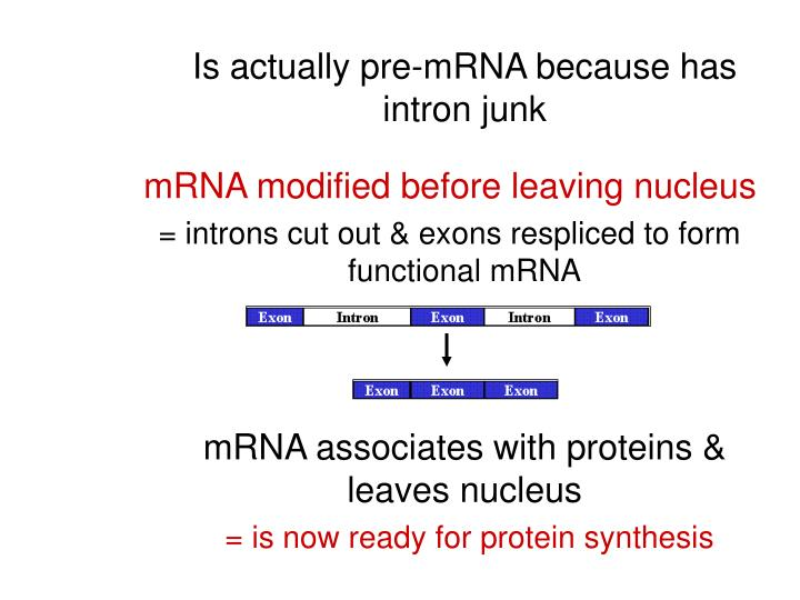 Is actually pre-mRNA because has intron junk