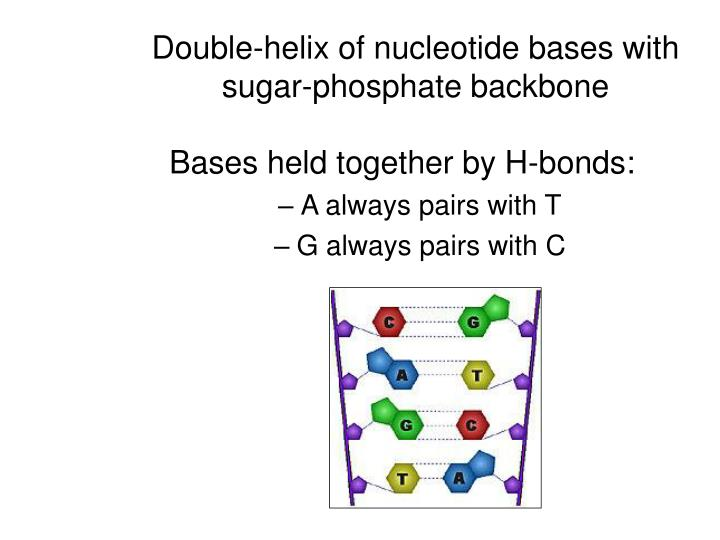Double-helix of nucleotide bases with sugar-phosphate backbone