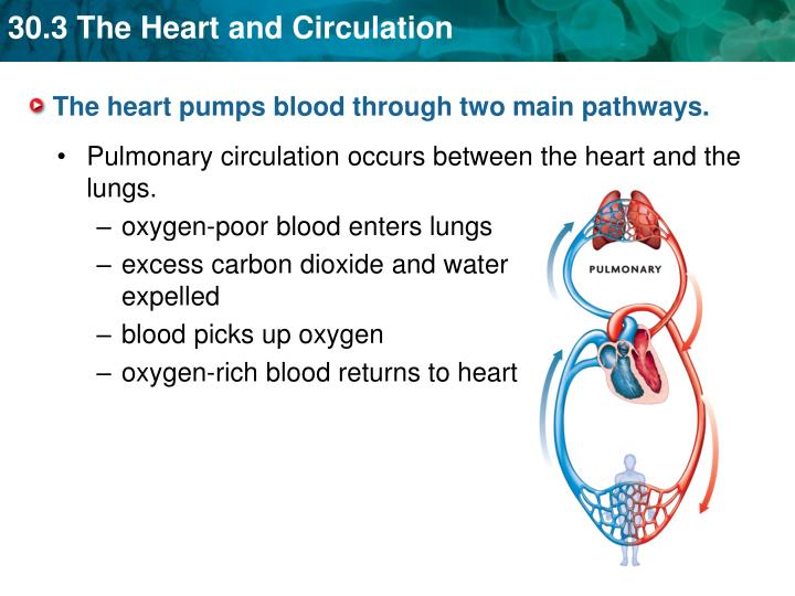 The heart pumps blood through two main pathways.