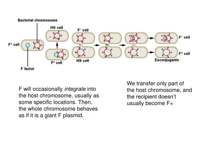 We transfer only part of the host chromosome, and the recipient doesn't usually become F+