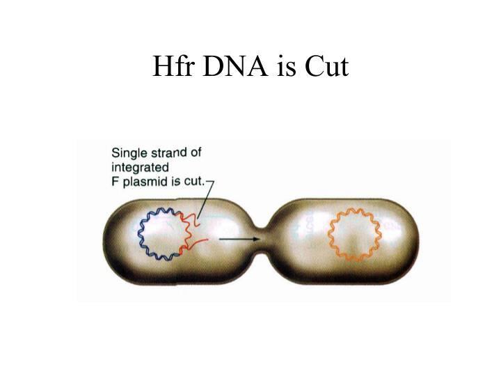 Hfr DNA is Cut