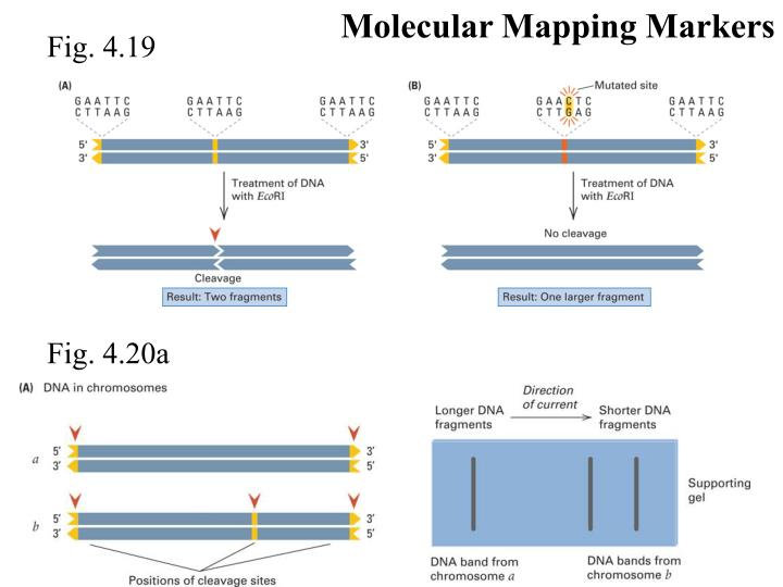 Molecular Mapping Markers