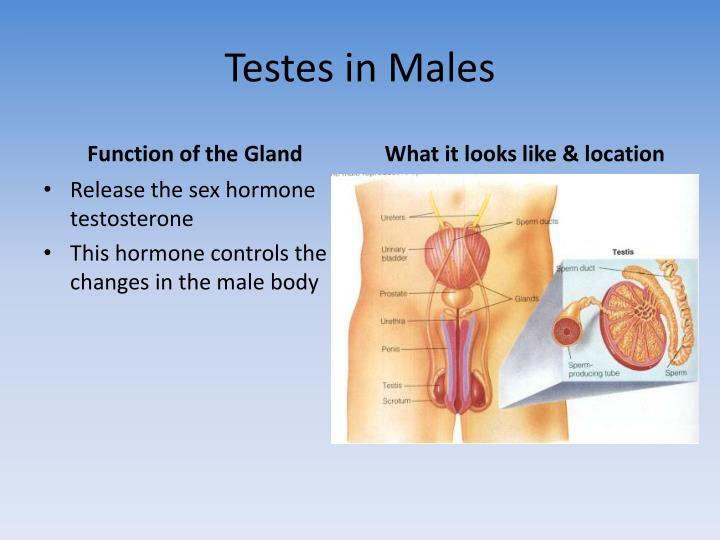 Testes in Males