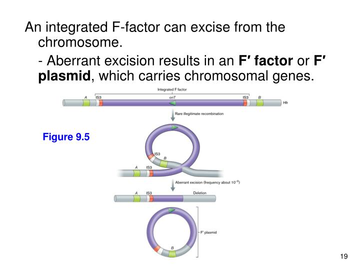 An integrated F-factor can excise from the chromosome.
