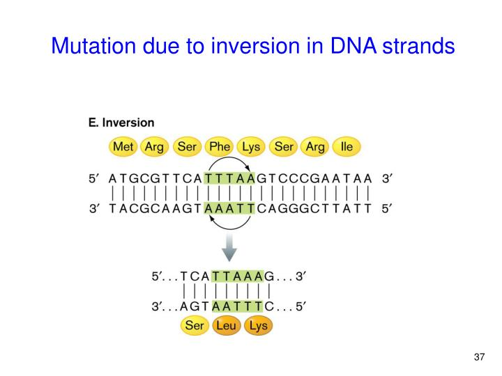 Mutation due to inversion in DNA strands