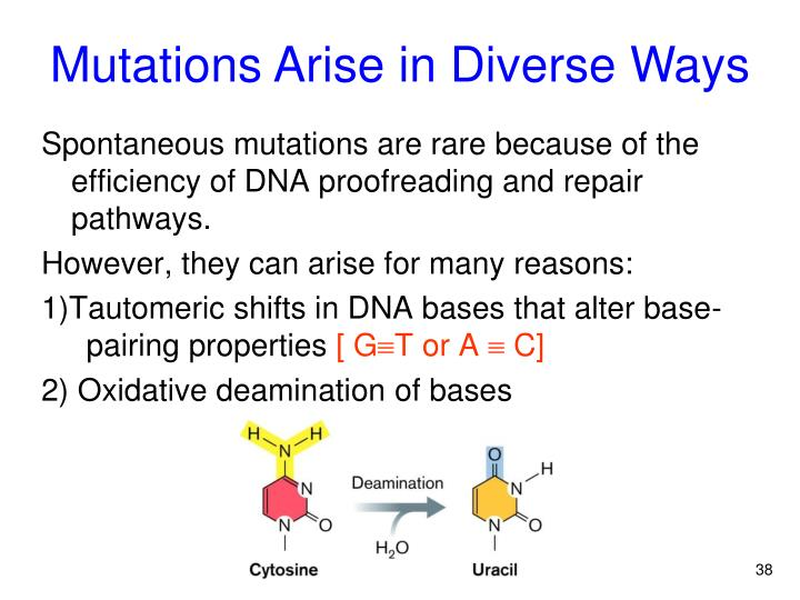 Spontaneous mutations are rare because of the efficiency of DNA proofreading and repair pathways.