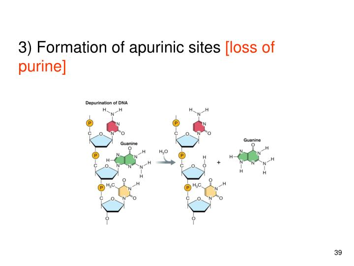 3) Formation of apurinic sites