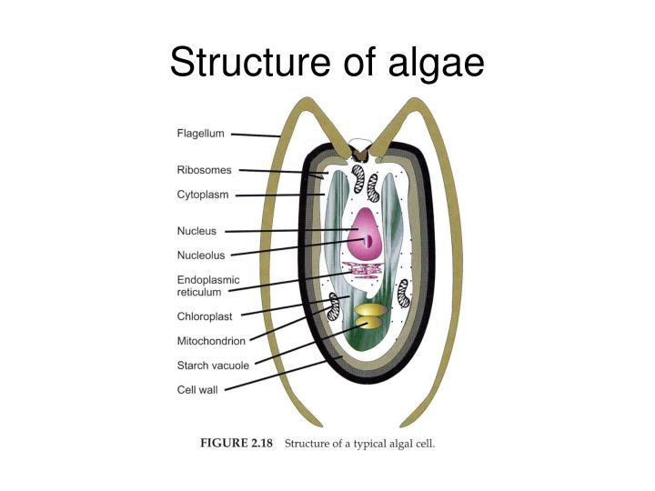 Structure of algae