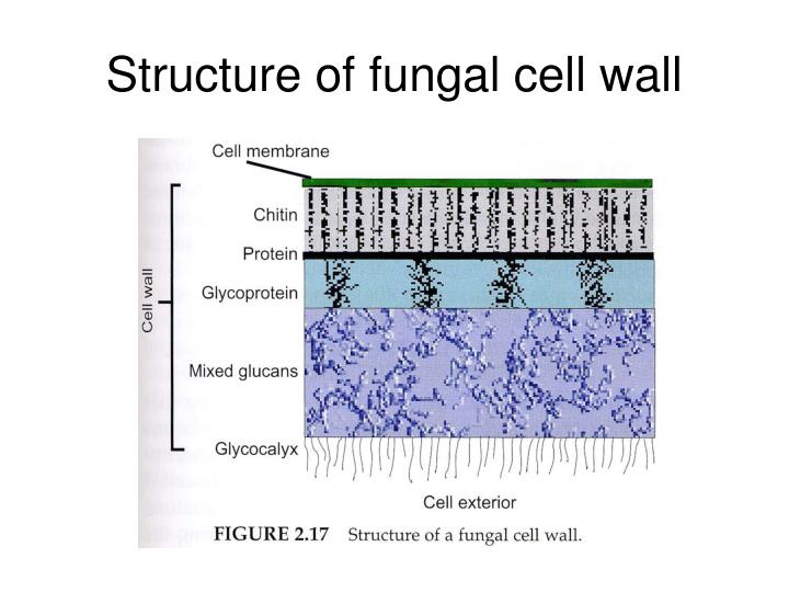 Structure of fungal cell wall