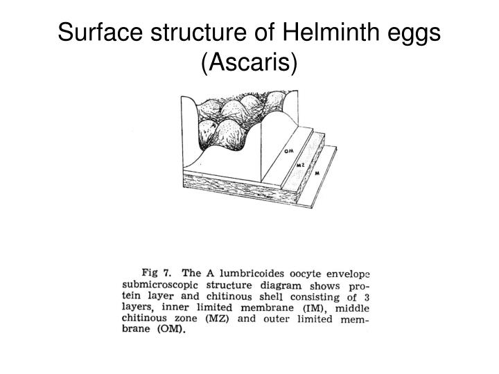 Surface structure of Helminth eggs (Ascaris)