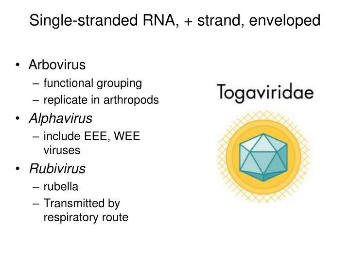 Single-stranded RNA, + strand, enveloped