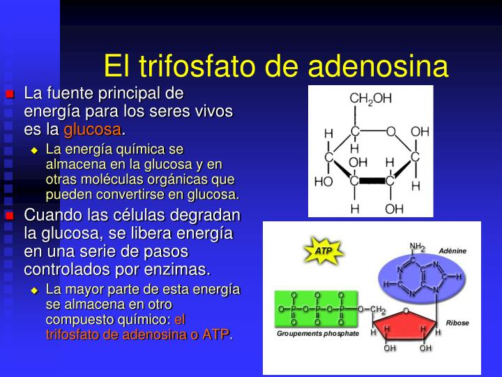 El trifosfato de adenosina