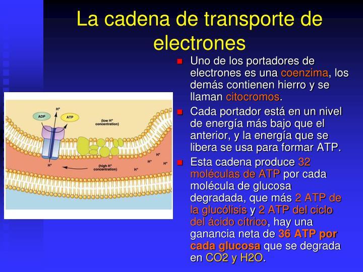 La cadena de transporte de electrones