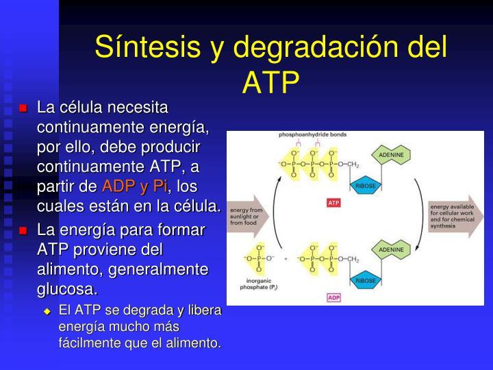 Síntesis y degradación del ATP
