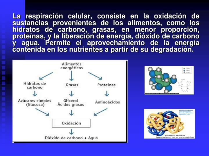 La respiración celular, consiste en la oxidación de sustancias provenientes de los alimentos, como los hidratos de carbono, grasas, en menor proporción, proteínas, y la liberación de energía, dióxido de carbono y agua. Permite el aprovechamiento de la energía contenida en los nutrientes a partir de su degradación.