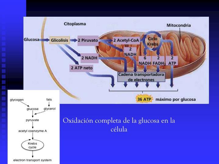 Oxidación completa de la glucosa en la célula