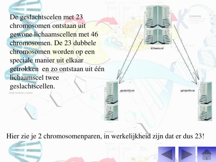 De geslachtscelen met 23 chromosomen ontstaan uit gewone lichaamscellen met 46 chromosomen. De 23 dubbele chromosomen worden op een speciale manier uit elkaar getrokken  en zo ontstaan uit één lichaamscel twee geslachtscellen.